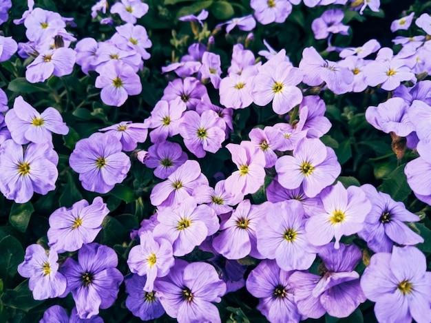 Fleurs violettes avec des feuilles vertes, flou d'arrière-plan de mise au point sélective