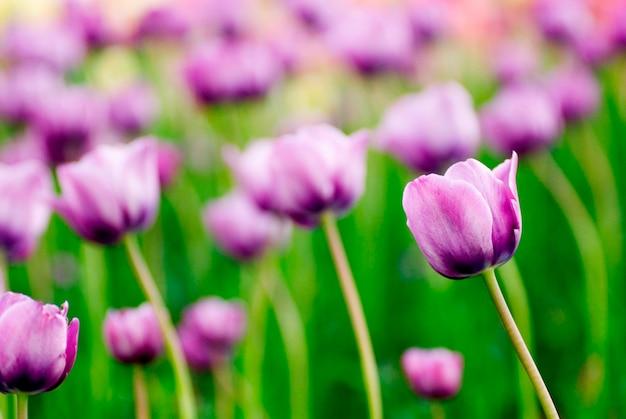 Fleurs violettes, gros plan
