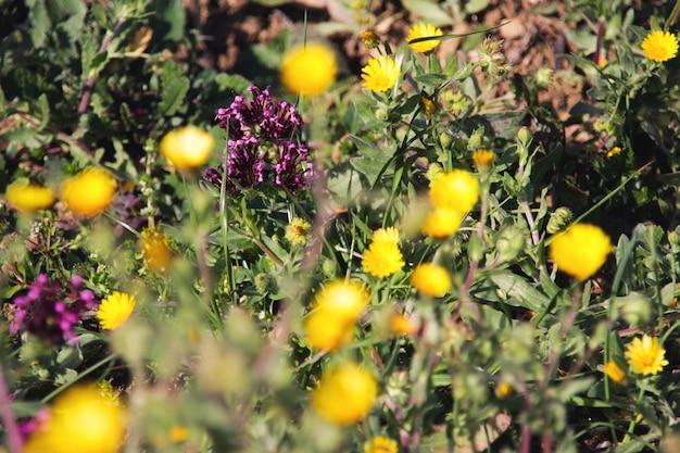 Fleurs violettes et jaunes