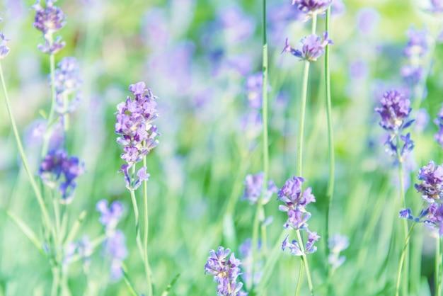 Fleurs violettes lavande sur terrain au coucher du soleil