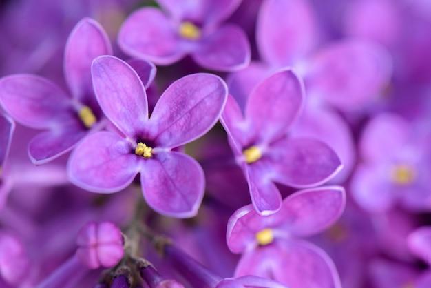 Fleurs violettes lilas