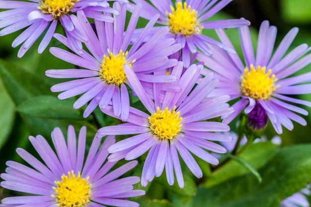 Fleurs violettes marguerites townsend originaires d'amérique du nord