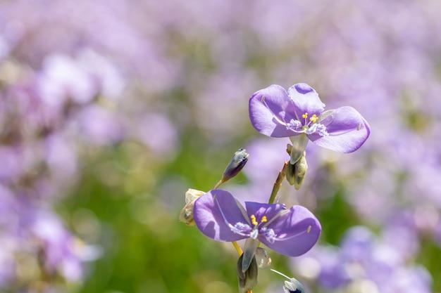 Fleurs violettes, murdannia giganteum.
