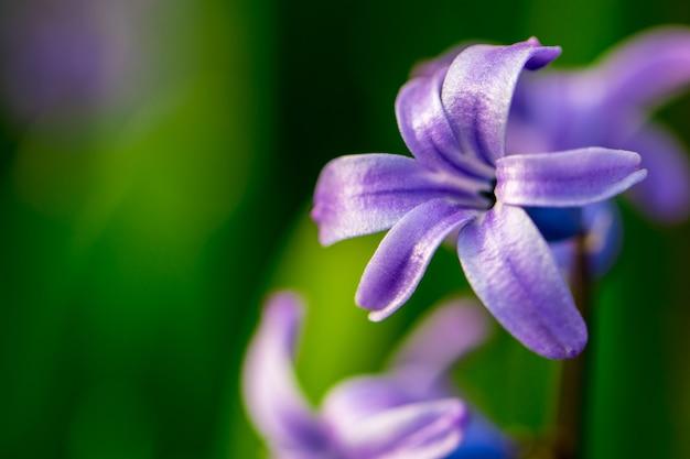 Fleurs violettes de printemps sur fond vert. gros plan de jacinthes, textures. avec espace copie.