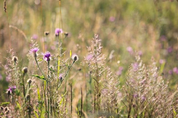 Fleurs violettes sauvages à la lumière du coucher du soleil