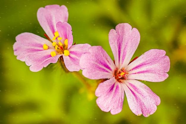 Fleurs violettes se bouchent