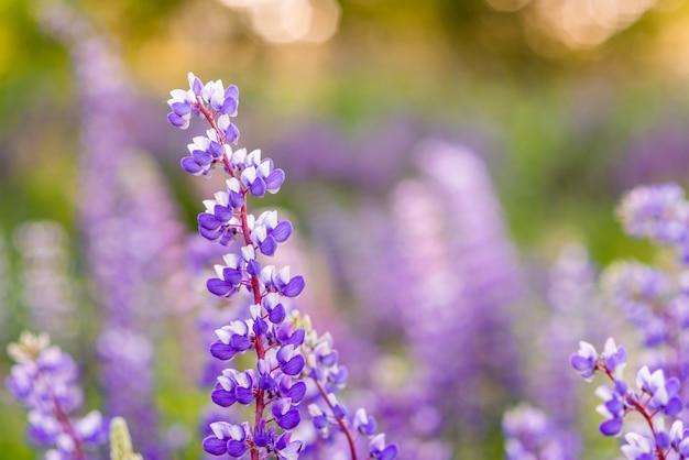 Fleurs violettes et soleil