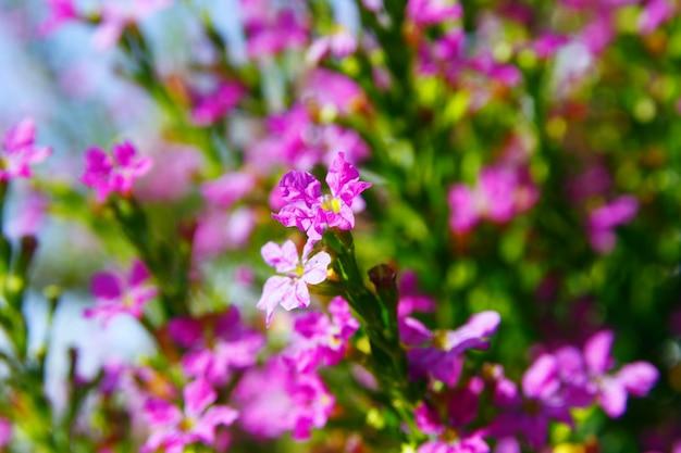 Fleurs violettes sur le terrain