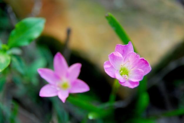 Fleurs de zéphyranthes roses fleurissent dans le jardin