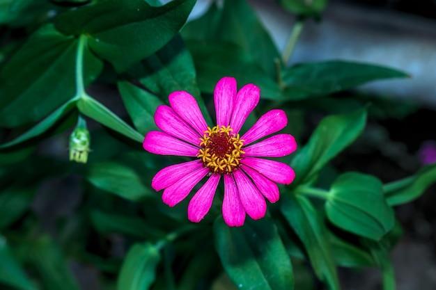 Fleurs de zinnia en fleur