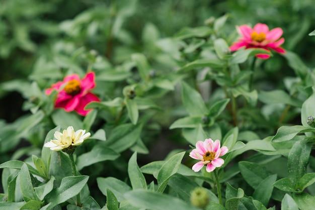 Fleurs de zinnia lumineuses fleurissent dans le jardin en été