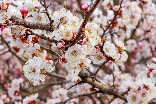Floraison abondante d'abricot