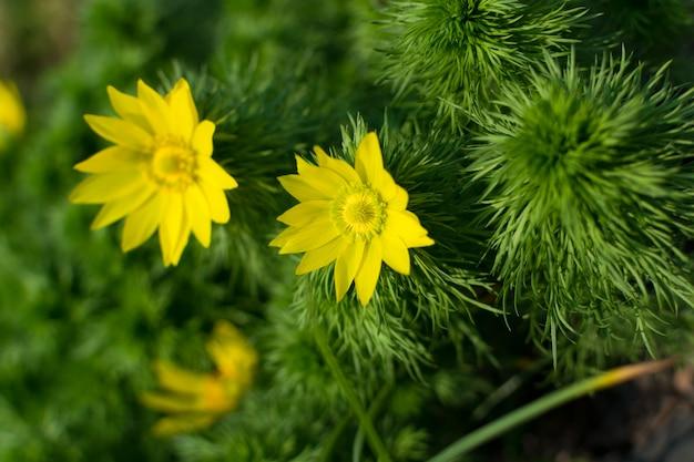 Floraison d'adonis vernalis, oeil de faisan de printemps, oeil de faisan jaune ou faux hellébore