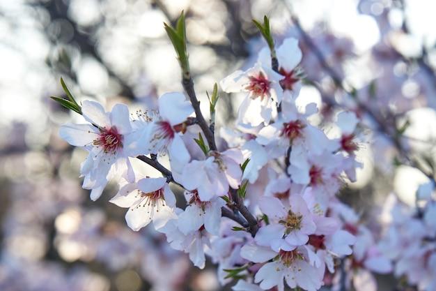 La floraison des amandes contre le ciel.