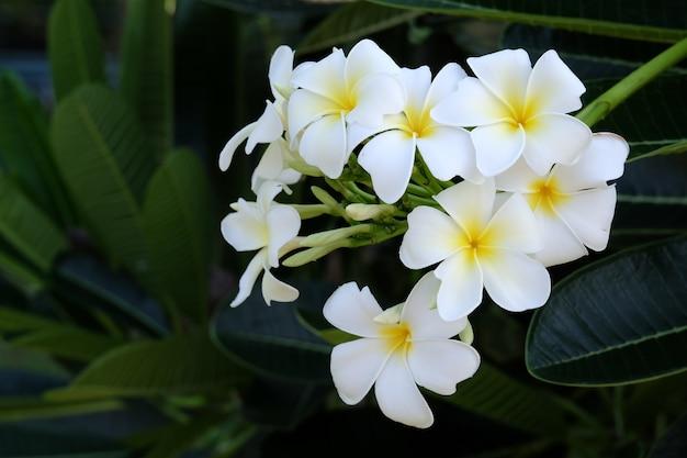 Floraison blanc plumeria dans le jardin.