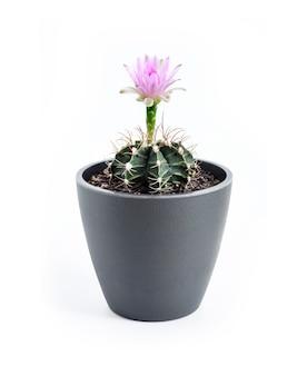 La floraison des cactus gymnocalycium mihanovichii dans un pot isolé sur fond blanc