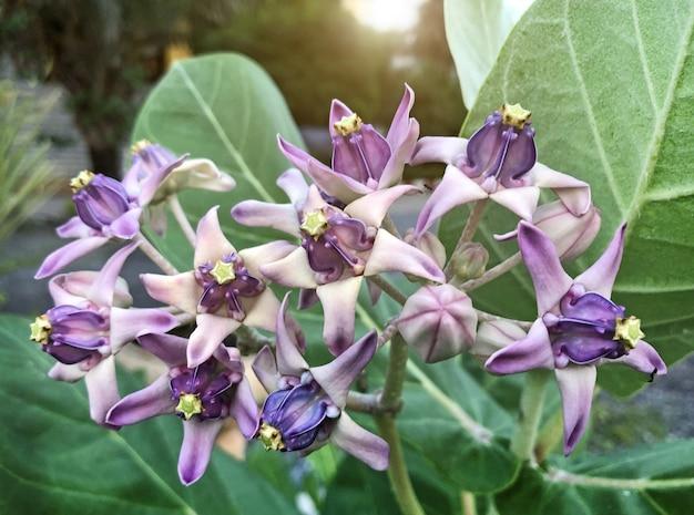 Floraison de calotropis gigantea sur une couronne