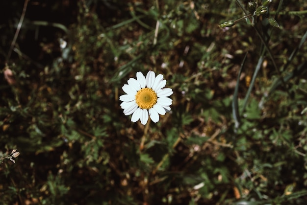 Floraison. camomille. camomille en fleurs, fleur de camomille. natu