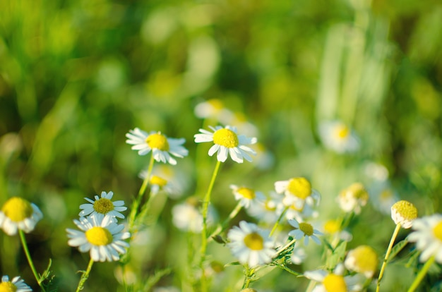 Floraison. camomille. champ de camomille en fleurs, fleurs de camomille sur un pré en été