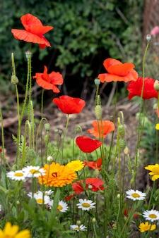 La floraison des coquelicots dans une bande de fleurs sauvages à east grinstead