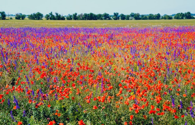 Floraison de coquelicots rouges et de fleurs violettes dans le champ.