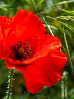 La floraison du pavot à ronda espagne
