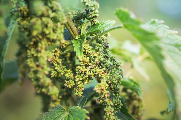 Floraison estivale des plantes médicinales. énorme buisson d'ortie