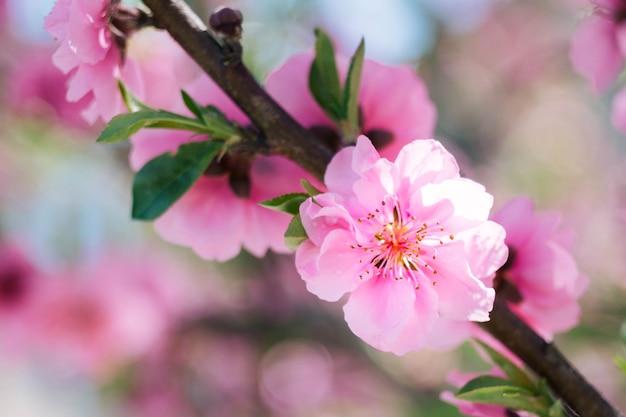 Floraison fleur de prunier rose avec arrière-plan flou