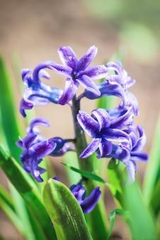 Floraison des fleurs de jacinthe. mise au point sélective.