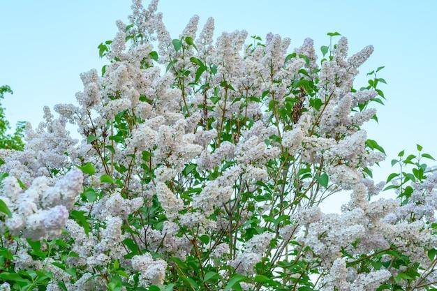 Floraison des fleurs printanières. belles fleurs fleuries de lilas. la notion de printemps. les branches de lilas sur un arbre dans un jardin.