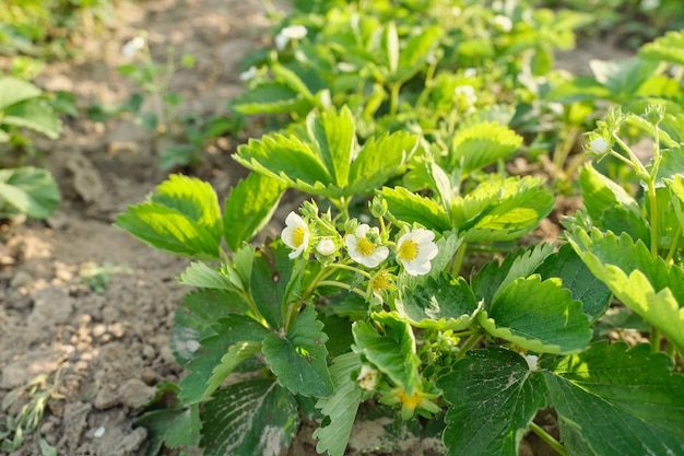 Floraison de fraise, fleurs blanches sur un jeune plant de fraises au printemps