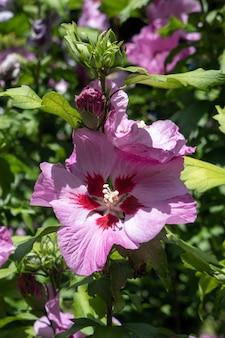 Floraison d'hibiscus rose à east grinstead
