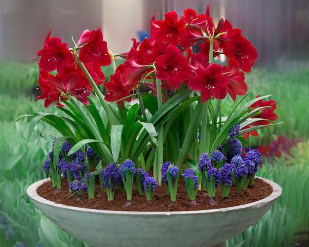 La floraison de la jacinthe de la jacinthe racémeuse en pot et amaryllis