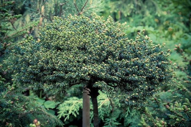 Floraison de jeunes conifères au printemps dans la forêt. mise au point sélective. conifère miniature