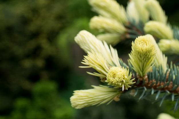 Floraison de jeunes conifères au printemps dans la forêt. mise au point sélective