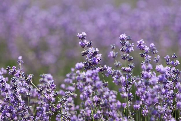 Floraison de lavande, fleurs délicates, gros plan. mise au point sélective, élément de conception. beau flou sur fond de champ de lavande.