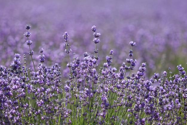 Floraison de lavande, fleurs délicates, gros plan. mise au point sélective, élément de conception, espace de copie. beau flou sur fond de champ de lavande.
