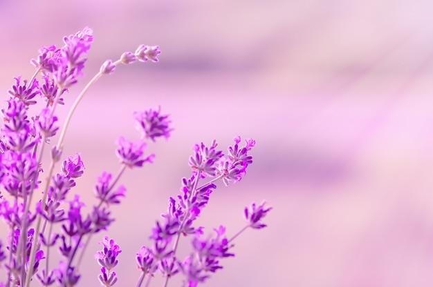 Floraison de lavande à la lumière du soleil, couleurs pastel et arrière-plan flou. effet de lumière douce.