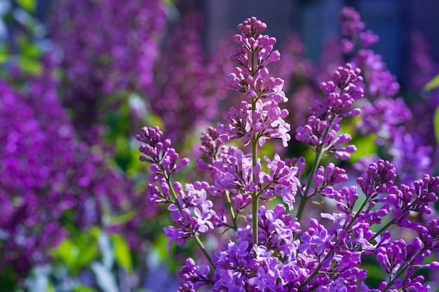 Floraison lilas lumineuse sur fond de ciel bleu moment éphémère au début de l'été