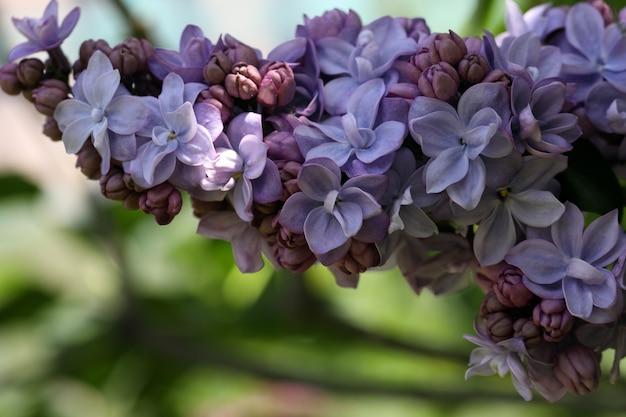 Floraison macro branche lilas violet violet sur fond naturel vert flou