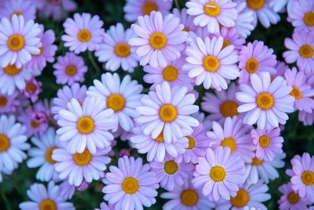 Floraison de marguerites pourpres blanches, fond de marguerites