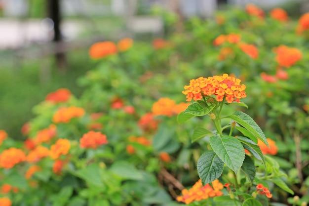 Floraison orange lantana camara. belle de petites fleurs dans le jardin