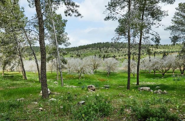 Floraison printanière d'anémones à fleurs rouges dans les prairies vertes du sud d'israël. fleurs de pavot rouge, fleur nationale d'israël