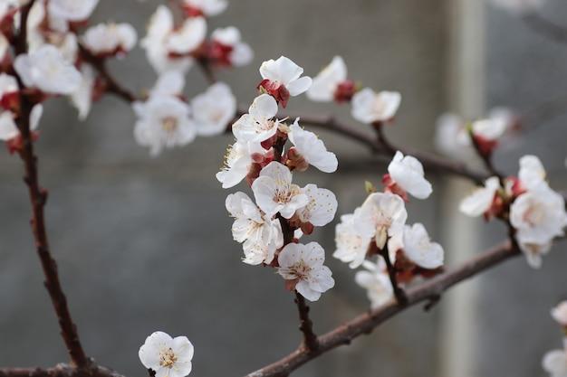 Floraison printanière sur un arbre fleurs blanches