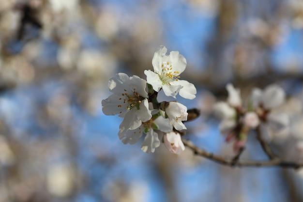 Floraison printanière de fleurs sur un arbre fleurs blanches