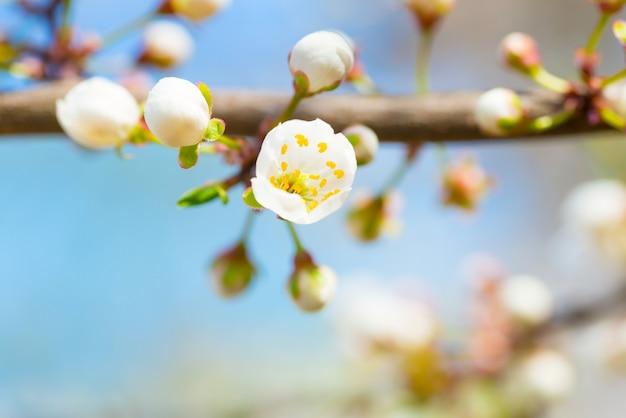 Floraison printanière des fleurs de printemps blanches sur un prunier sur fond floral doux