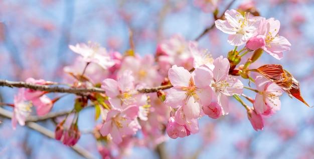 Floraison printanière de sakura