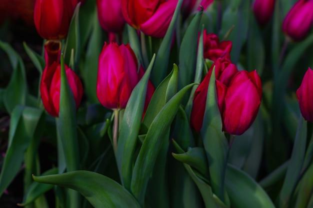 Floraison printanière de tulipes dans l'obscurité. fond floral