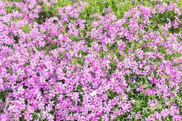 Floraison rampante motif de fleurs roses phlox