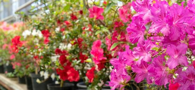 Floraison de rhododendron rose (azalée), gros plan, mise au point sélective, espace copie.